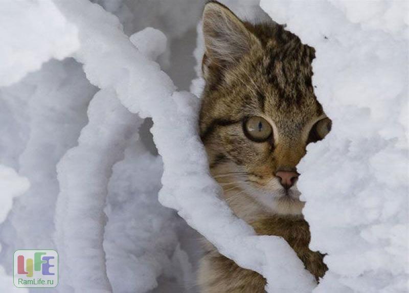 Фото Кошки в снегу 63 фото, С Первым Днём Зимы тебя, Кошки в снегу.